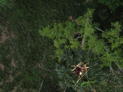 Surveying Wildlife (orangutan)