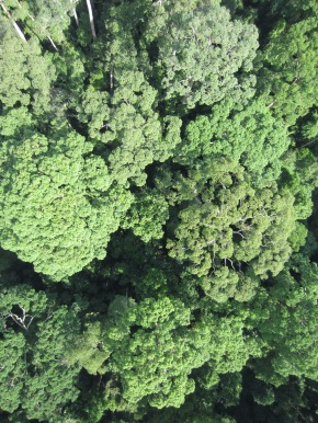 One of hundreds of photographs acquired by Conservation Drones over Sepilok. (Courtesy of Chris Kettle.)