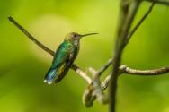 Rainforest hummingbird